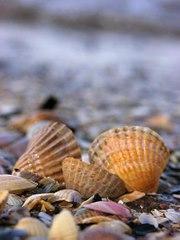 Muszelki nad morzem