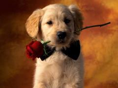 Piesio z różą