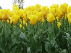 Dużo żółtych tulipanów