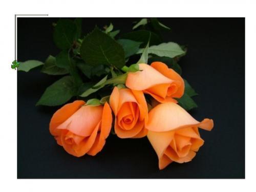 Pomarańczowe róże