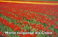 Morze tulipanów dla Ciebie