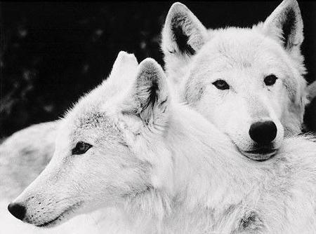 Białe wilki