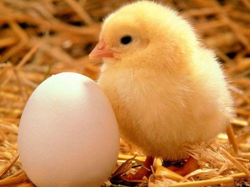 Kurczaczek z jajeczkiem