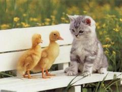 Kurczaki z kotem