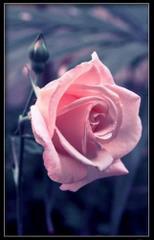 Różowa róza