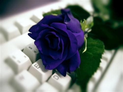 Róża na klawiaturze