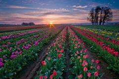 Hektary róż