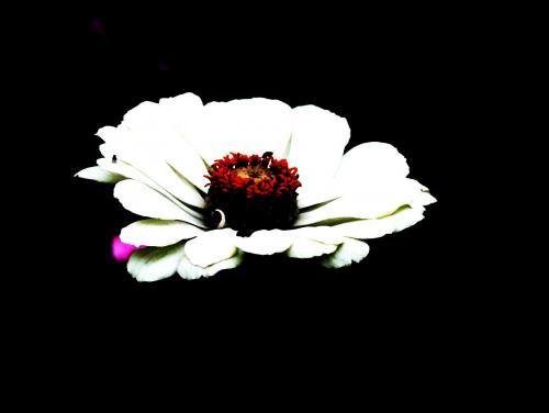 Biały kwiat na czarnym tle