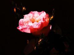Różowy kwiat na czarnym tle