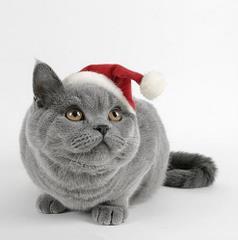 Szary kot w czapce mikołaja