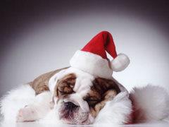 Pies w czapce mikołaja