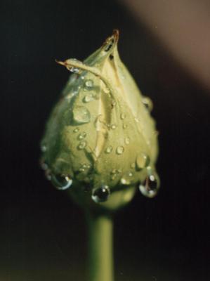 Pąk kwiata